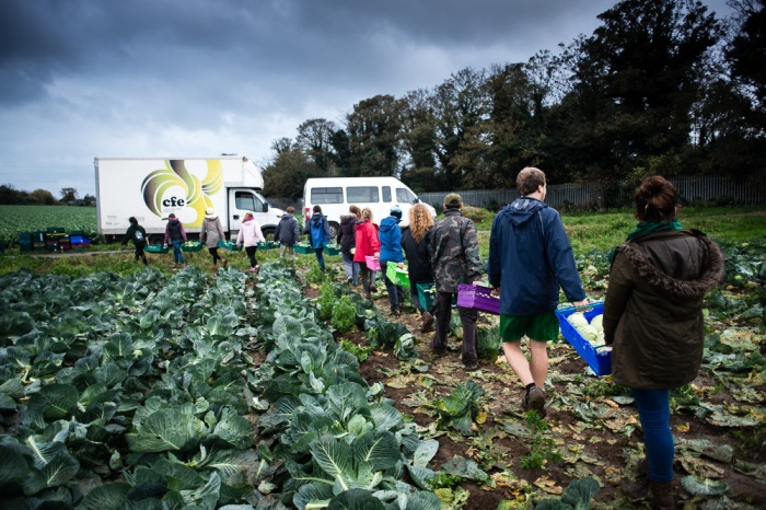 Gleaners form a human train in order to carry as many crates of gleaned cabbages to the van as possible
